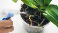 Evde Orkide Bakımı Nasıl Yapılır?